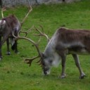 6711-a-group-of-reindeer-in-the-grass-pv