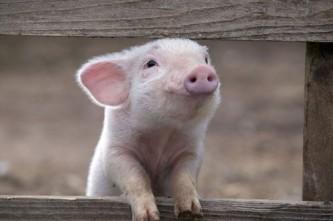 Luscious-animals-mylusciouslife.com-piglet