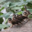 duck-213854_640