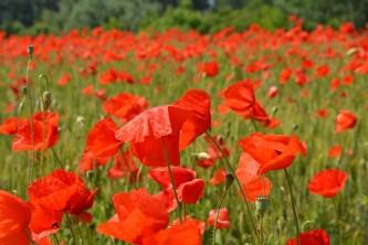 poppies-477864_640