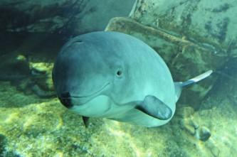 Jack_a_harbour_porpoise_at_Vancouver_Aquarium