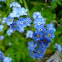 forget-me-not-3966_640