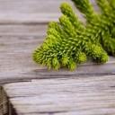 evergreen-636831_640