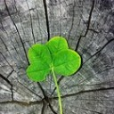 four-leaf-clover-978544__180
