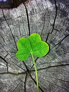 four-leaf-clover-978544__180