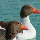 goose-15032_640